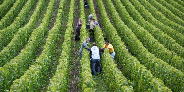 Vinplukning
